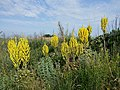 Verbascum speciosum sl21.jpg