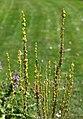Verbascum thapsus Dziewanna drobnokwiatowa 2014-06-19 02.jpg