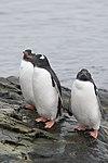 Vernadsky Station Winter Island Antarctica Gentoo Penguins (47284558372).jpg