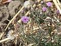 Vernonia cinerea (2239904792).jpg