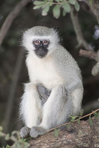Vervet monkey - Adult in Krugersdorp Game Reserve, South Africa