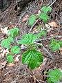 Viburnum acerifolium (33645979233).jpg