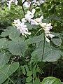 Vicia sylvatica sl30.jpg
