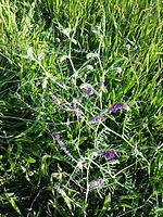 Vicia villosa s. str. sl3.jpg