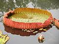 Victoria amazonica Leaf - Indian Botanic Garden - Howrah 2012-01-29 1703.JPG