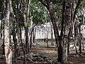 View through Trees to Group of a Thousand Columns - Chichen Itza Archaeological Site - Yucatan - Mexico.jpg