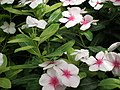 Vinca Rosea from Lalbagh flower show Aug 2013 8015.JPG