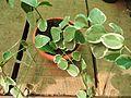 Vinca major variegata-2-nature love-yercaud-salem-India.jpg