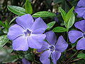 Vinca minor1Jina Lee.jpg