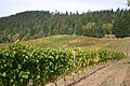 Vineyard in Willamette Valley.jpg