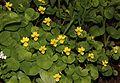 Viola biflora (0s3).JPG