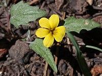 Viola pinetorum.jpg