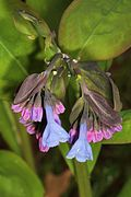 Virginia Bluebells - Mertensia virginica, Merrimac Farm Wildlife Management Area, Aden, Virginia - 13722927424.jpg