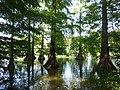 Virginiai mocsárciprusok a szarvasi Holt-Körös partján.jpg