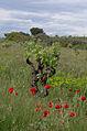 Vitis vinifera and Papaver rhoeas, Castelnau-de-Guers, Hérault 01.jpg