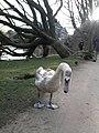 Vondelpark, swan.jpg