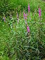 Waldgebiet bei Hanau lila blühende Pflanze Juni 2012.JPG