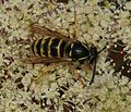 Wasp sp. - Flickr - S. Rae (1).jpg