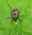 Weevil Hypera sp. (8893004337).jpg