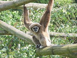 Hylobates - Lar gibbon