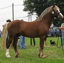 A Welsh Cob shown in-hand