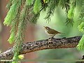 Western Crowned Warbler (Phylloscopus occipitalis) (32752144768).jpg