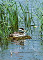 Western grebe on nest.jpg