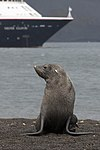 Whalers Bay Deception Island Antarctica Fur Seal 5 (40372009183).jpg