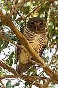 White-browed Owl (Athene superciliaris), Madagascar.jpg