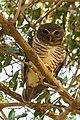 White-browed Owl (Athene superciliaris), Madagascar.jpg