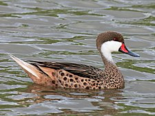White-cheeked Pintail RWD.jpg