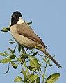 White-eared Bulbul Pycnonotus leucotis by Dr. Raju Kasambe DSCN6426 (2).jpg