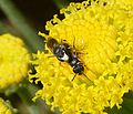 White-faced Bees. Hylaeus ssp. - Flickr - gailhampshire.jpg