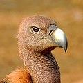 White-rumped vulture (Gyps bengalensis) Close-up by Shantanu Kuveskar.jpg