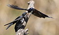 White-throated Swallow, Hirundo albigularis at Marievale Nature Reserve, Gauteng, South Africa. Sequence of two juveniles being fed on the fly by their parents. (15444842089).jpg