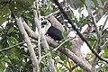 White-throated Toucan (Ramphastos tucanus) (9499725570).jpg