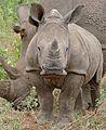 White Rhino (Ceratotherium simum) young (31473961913).jpg