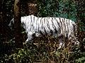 White Tiger undercover.jpg