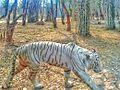 White tiger345.jpeg
