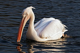 Great white pelican - in St James' Park, London