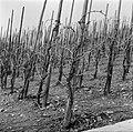 Wijnranken in de winter, Bestanddeelnr 254-4434.jpg