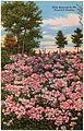 Wild Azaleas in beautiful Ozarks (79500).jpg