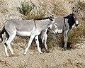 Wild Burros, San Timoteyo Canyon 7-12 (7604962852).jpg