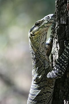 Wild Lace Monitor in Brisbane Forest Park.jpg
