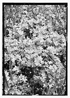 Wild flowers of Palestine. Venus' looking-glass (Specularia sepculum-veneris) LOC matpc.11708.jpg