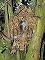 Wren Nest 26-05-12 (7282434478).jpg