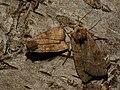 Xestia baja - Dotted clay - Совка двуточечная (41054716382).jpg