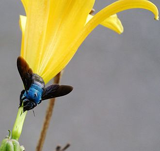 Carpenter bee - Xylocopa caerulea, Blue Carpenter Bee, robbing nectar