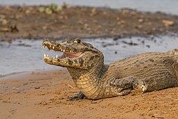 Yacare caiman (Caiman yacare) 2