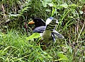 Yellow-billed Blue Magpie I IMG 7394.jpg